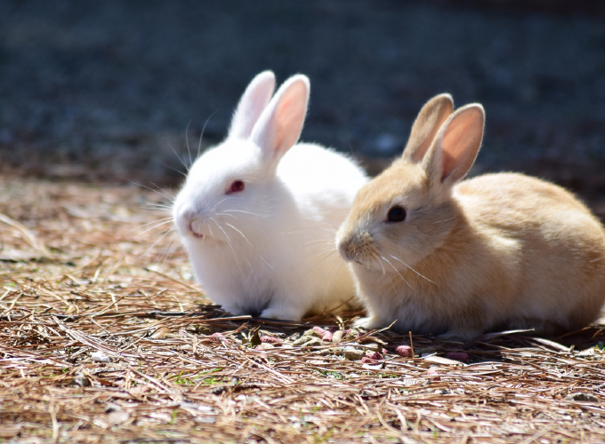 ウサギの避妊手術・去勢